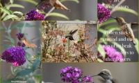 Humming birds are Pollinators